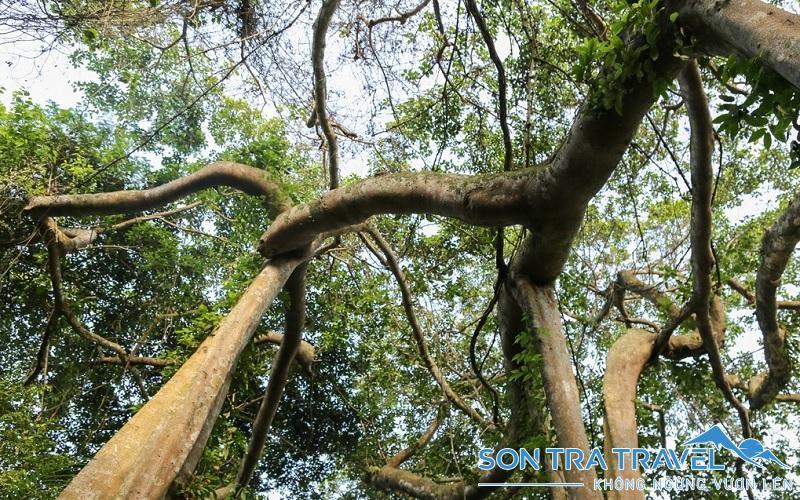 cây đa đại thụ