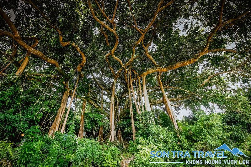 cây đa đại thụ bán đảo sơn trà